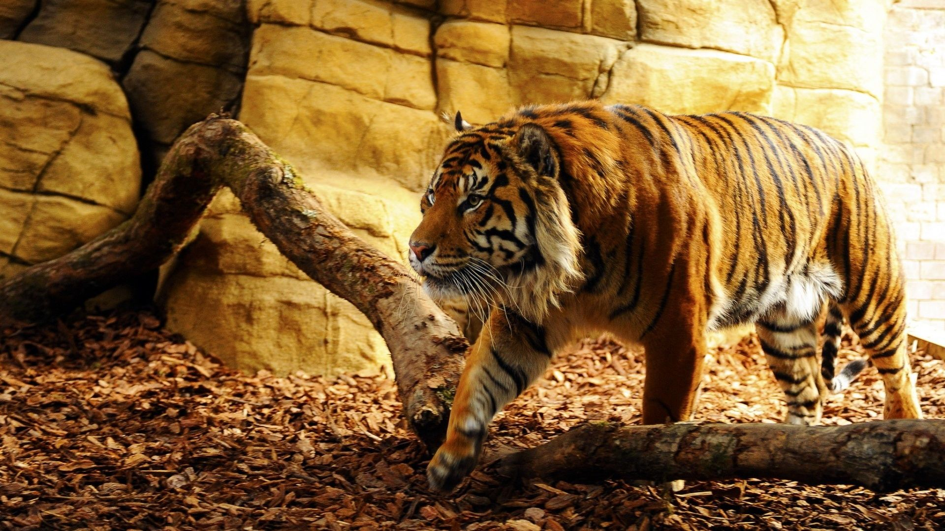 Tiger 19201080 Small Plates Tiger wallpaper Tiger pictures 1920x1080