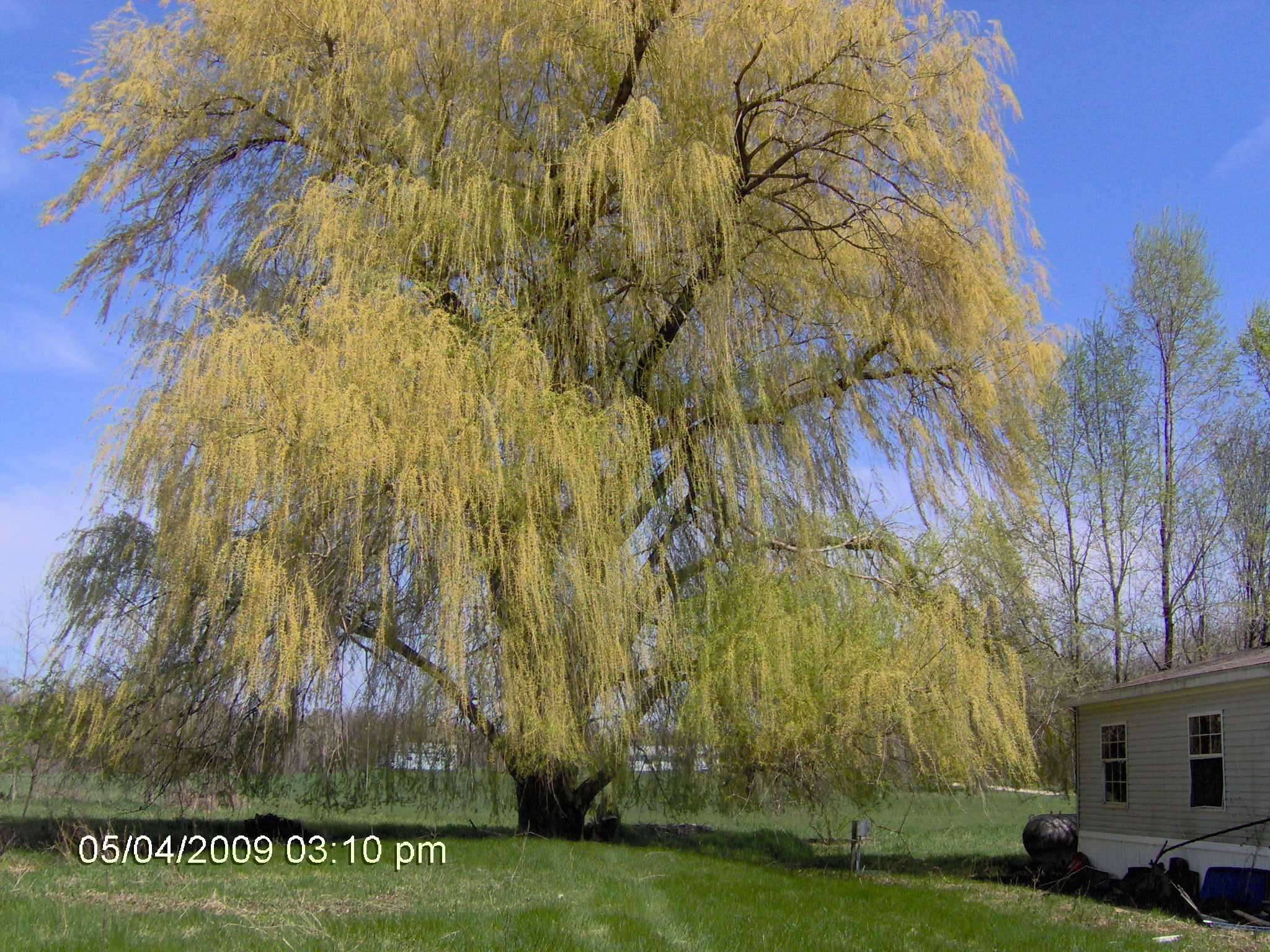 Weeping Willow wallpaper   ForWallpapercom 2048x1536