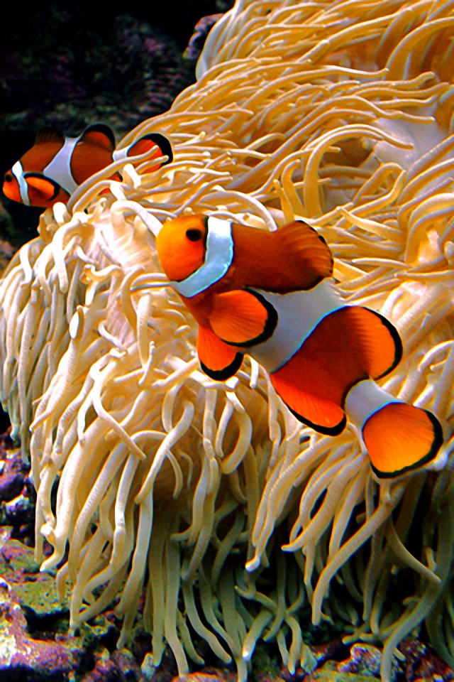 Hd Wallpapers Clown Fish 1920 X 1200 1238 Kb Jpeg HD Wallpapers 640x960