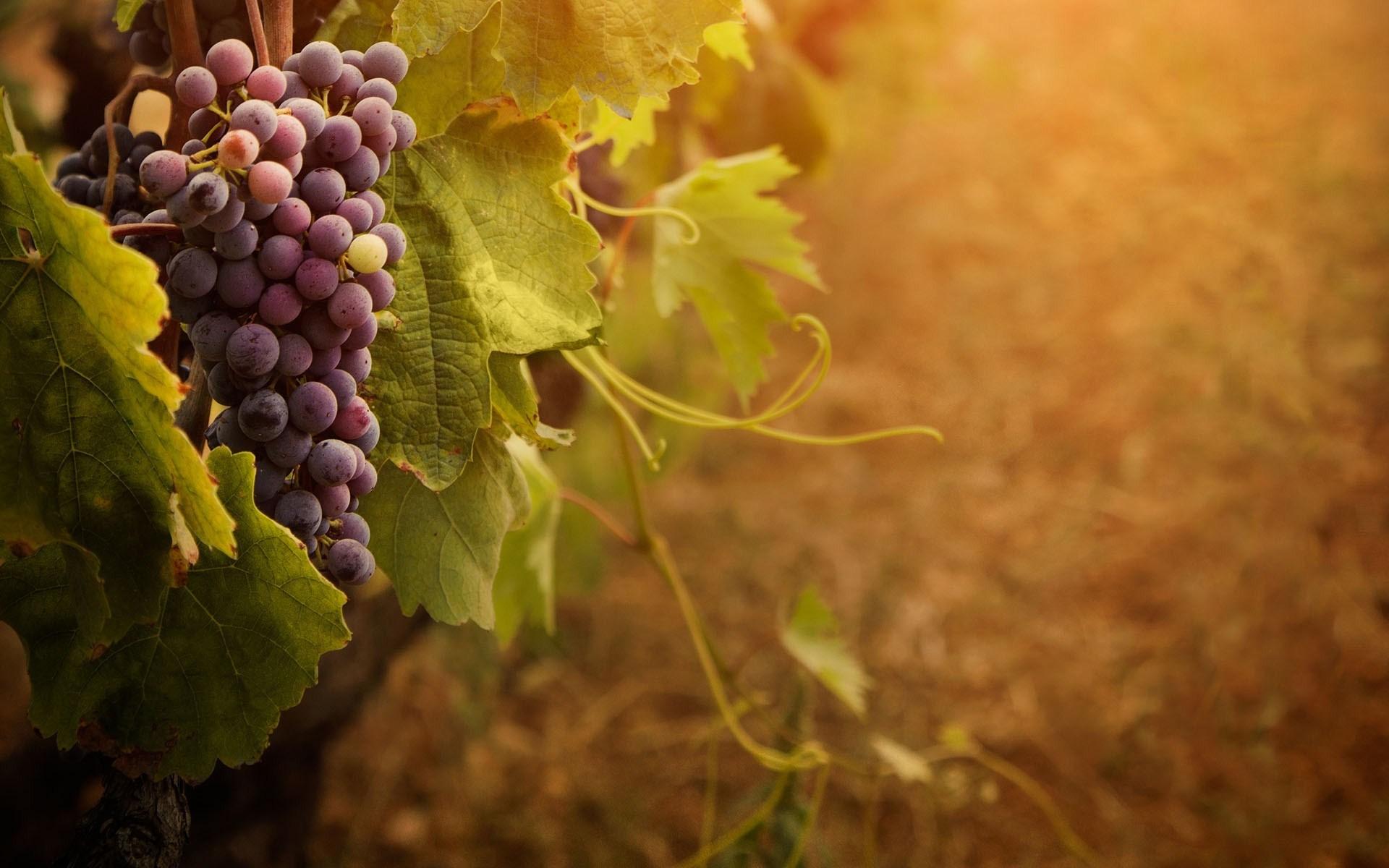Wallpaper Grape Vines - WallpaperSafari