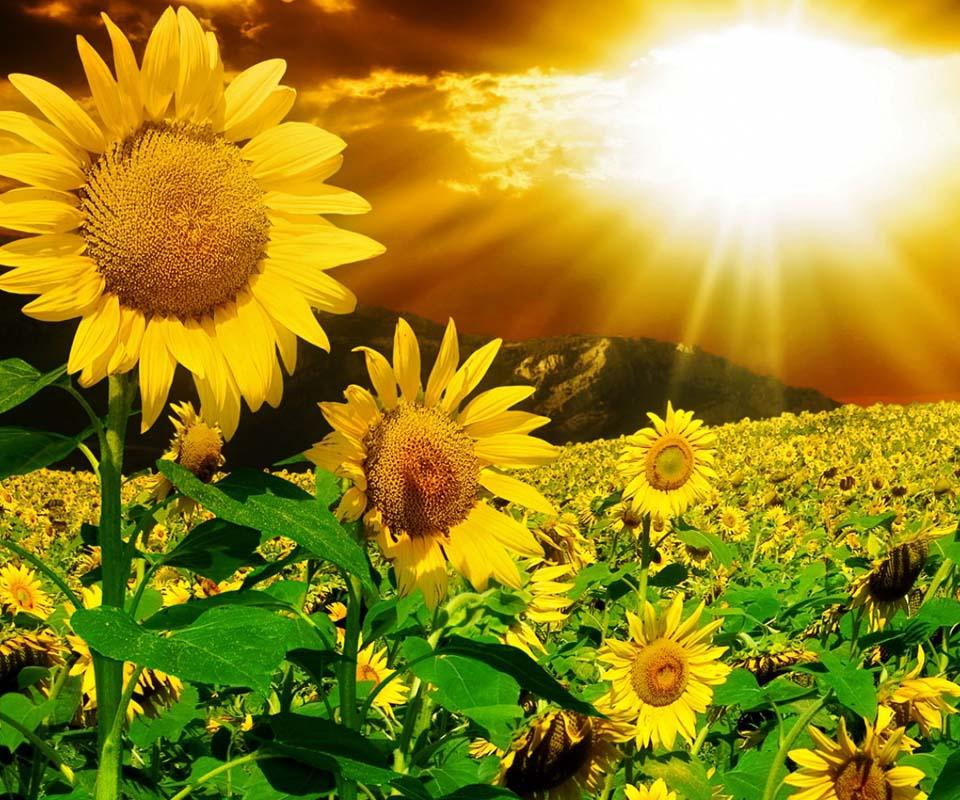 3D Sunflower   Android Apps on Google Play 960x800