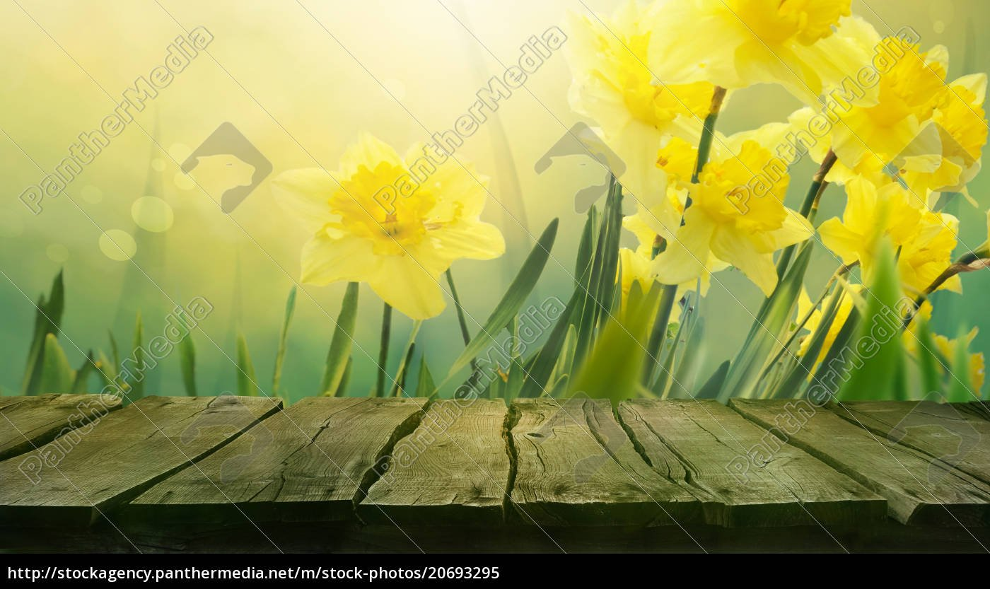 Daffodil spring background   Royalty image   20693295 1400x833