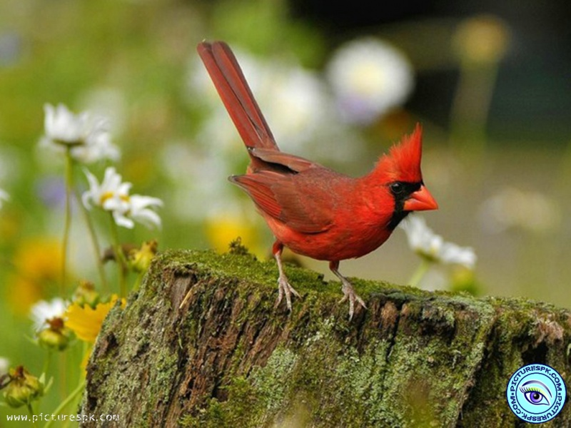 View Red Cardinal Picture Wallpaper in 800x600 Resolution 800x600