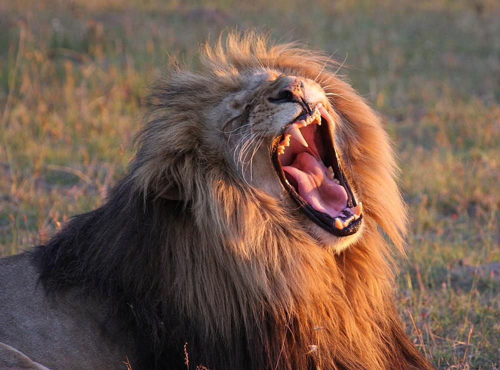 Wallpaper Lion Roar Hd Wallpaper: Roaring Lion Wallpaper