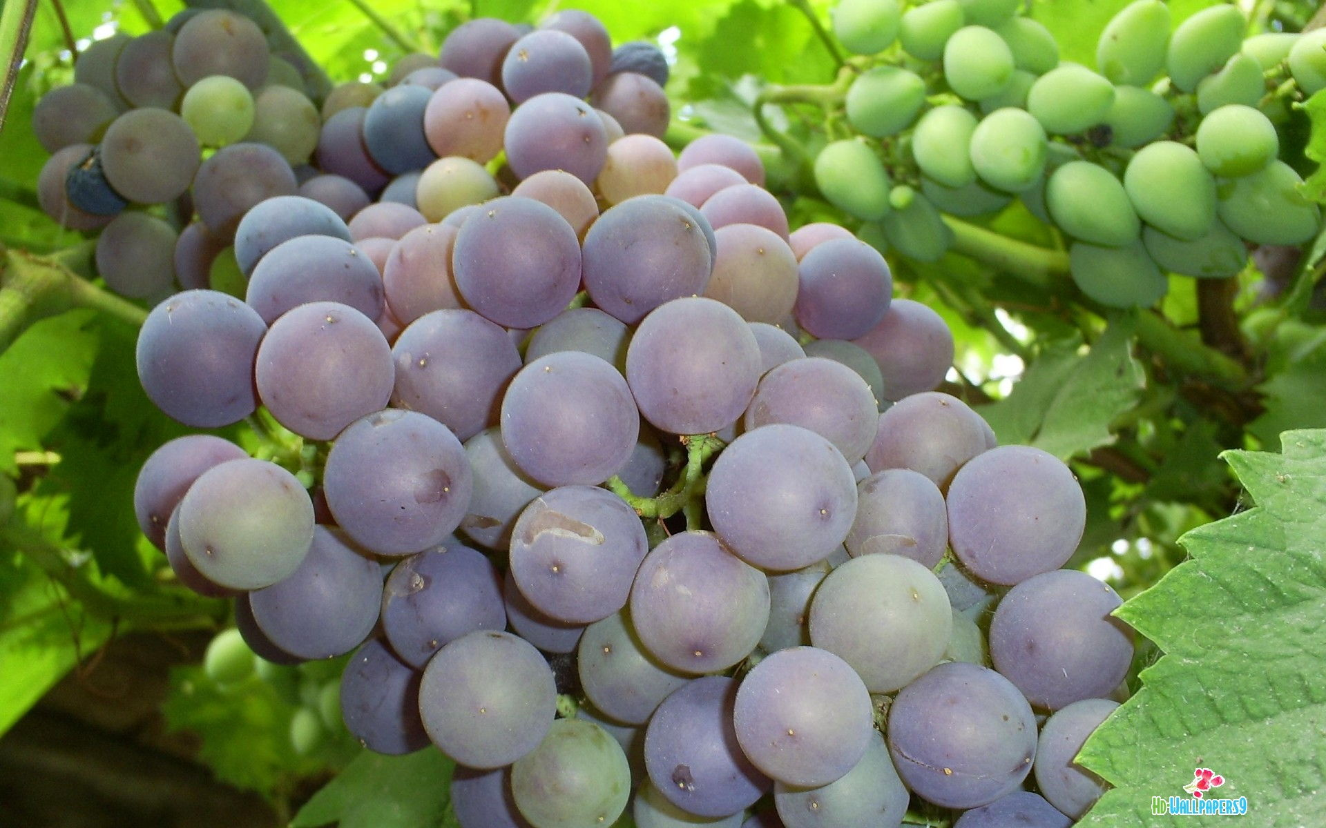 Grapes Wallpapers Photos Grapes Wallpapers Image Gallery 1920x1200