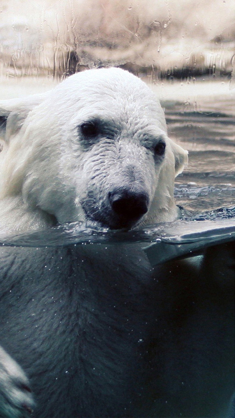 Polar Bear iPhone Wallpaper  WallpaperSafari
