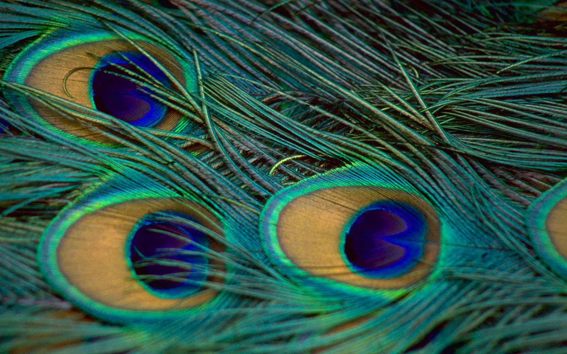 Peacock Feather Wallpaper More HD Wallpapers 1920x1200