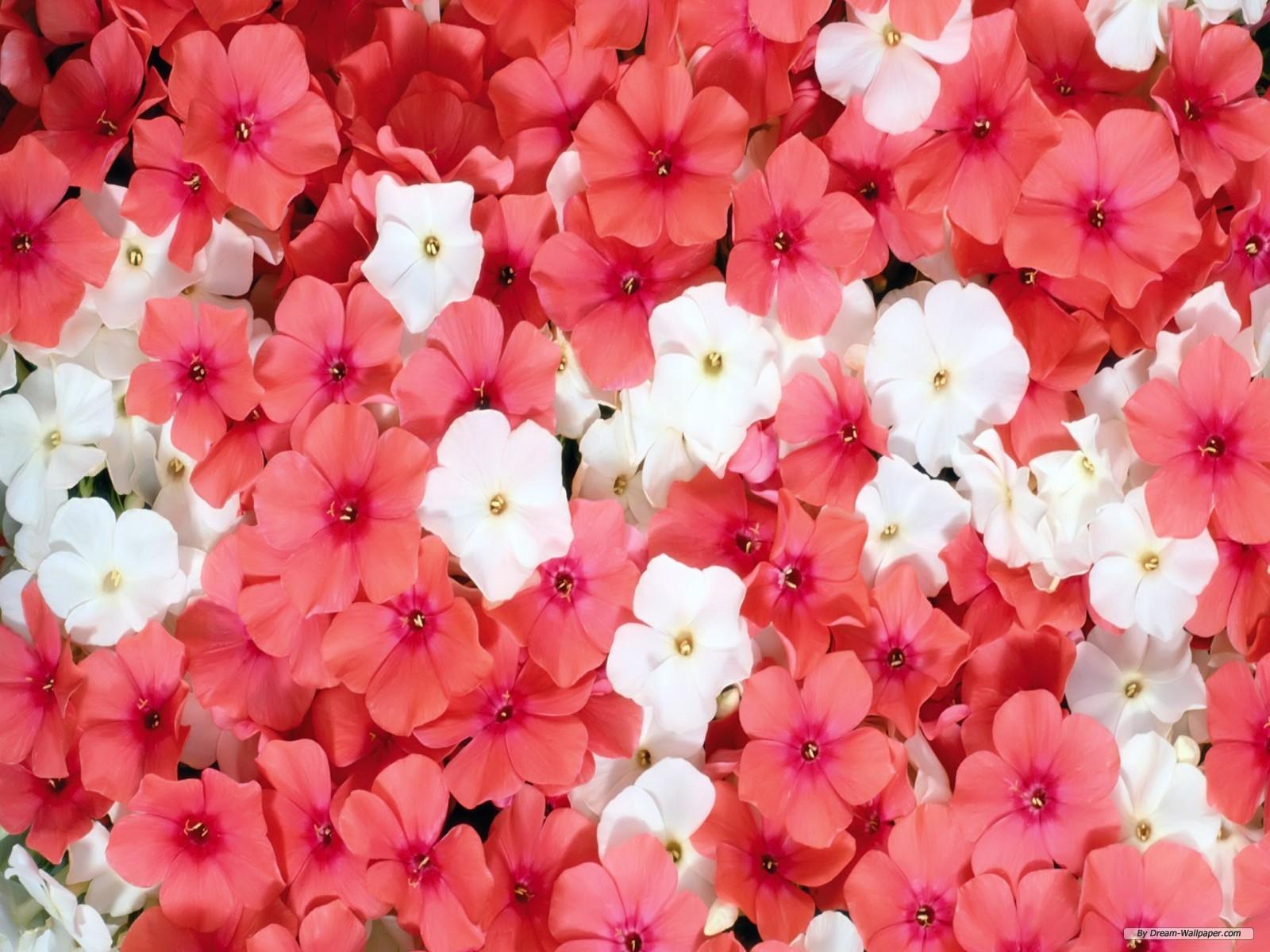 BeautyFul Flowers beautiful flowers background wallpapers 1600x1200