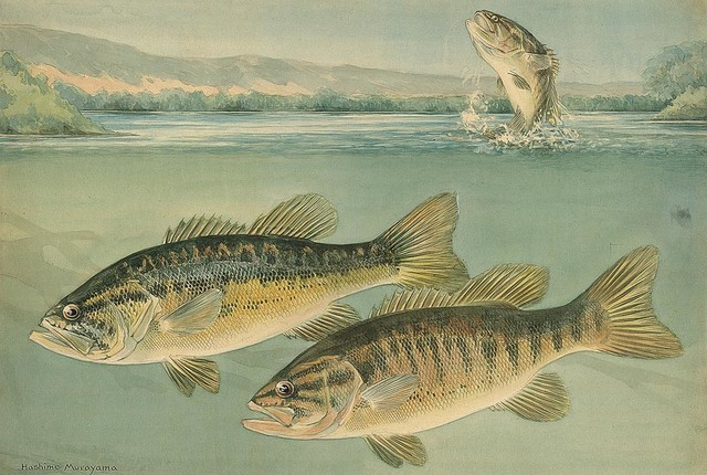 Largemouth Bass Wallpaper Wall Mural   Self Adhesive   Multiple Sizes 640x430