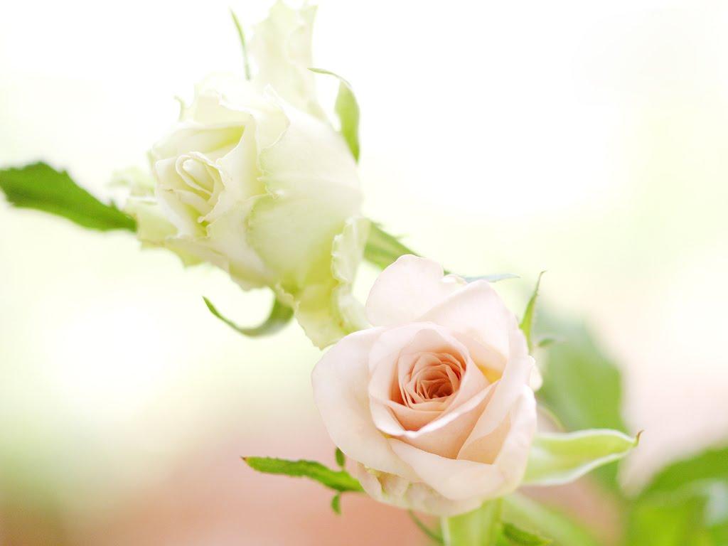 flowers for flower lovers White rose desktop hd wallpapers 1024x768