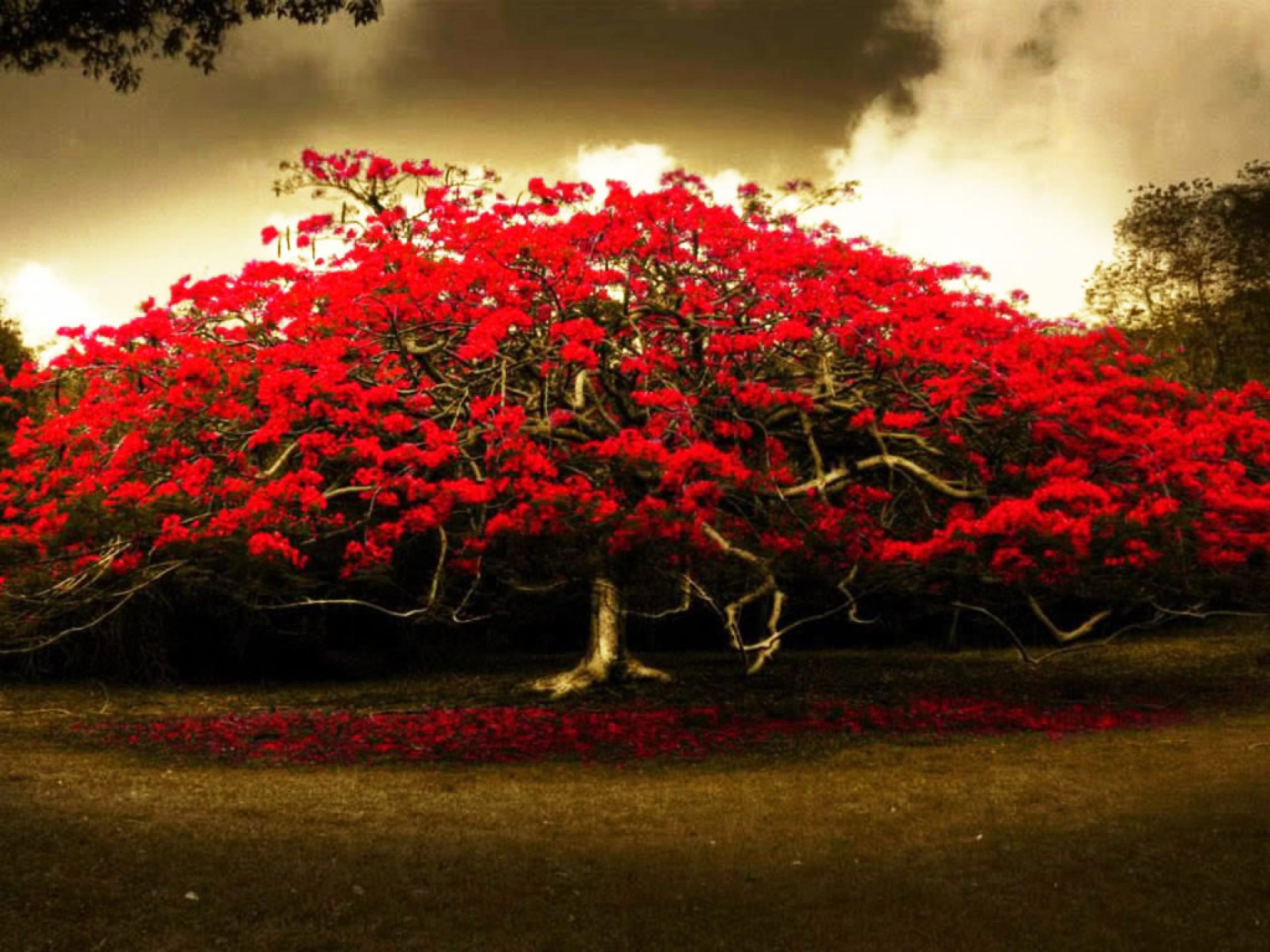 red flowers tree hd wallpapers cute Wallpapers 2560x1920