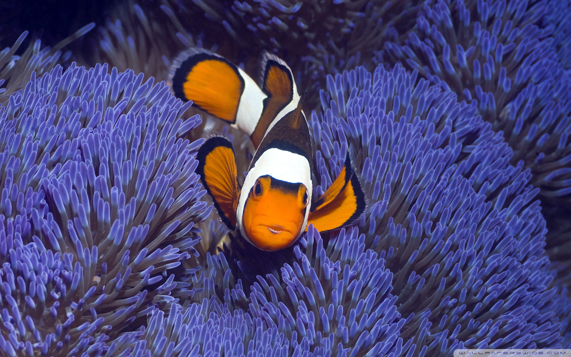 Clown fish wallpaper wallpapersafari for Blue clown fish