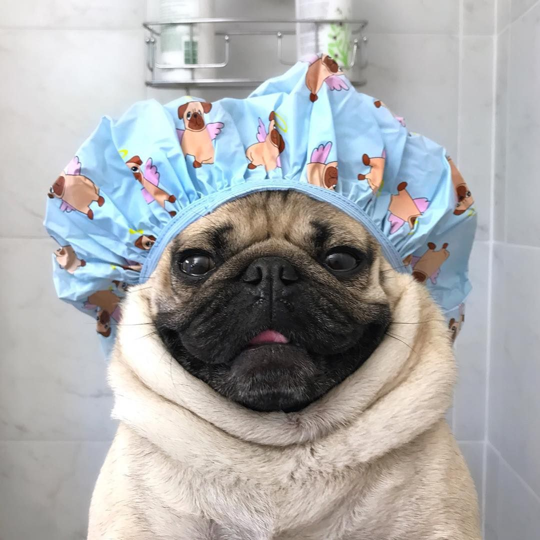 Doug The Pug no Instagram Save water shower with a pug 1080x1080
