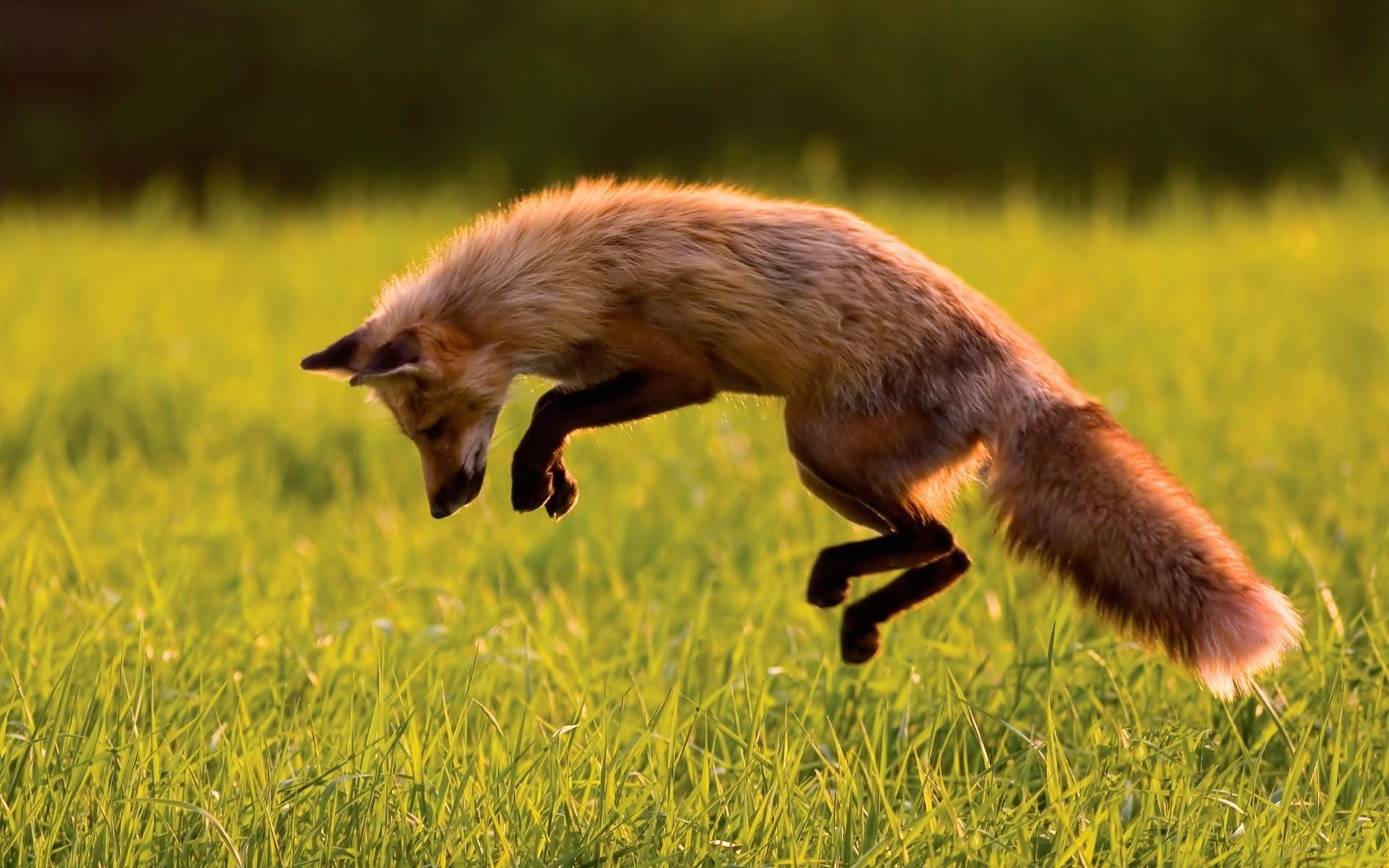 Download Fox Hunting Wallpaper Fox Hunting Wallpaper 1920x1200