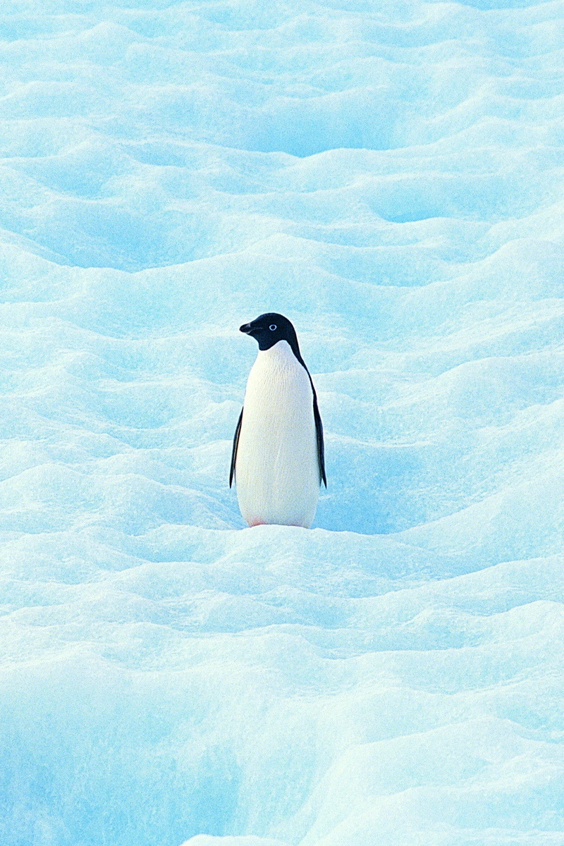 Download wallpaper 800x1200 small penguin north snow iphone 4s 800x1200