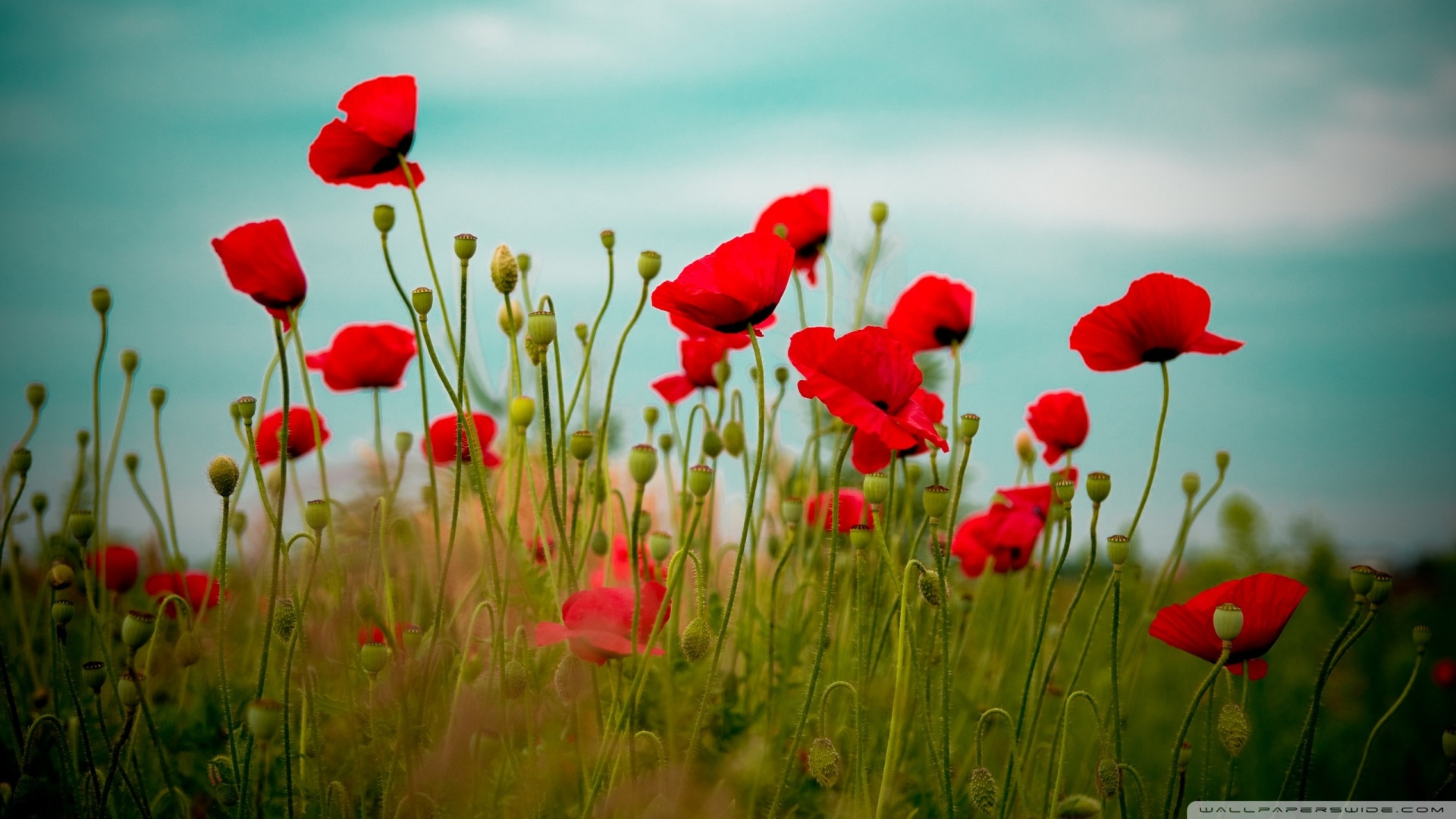Beautiful Poppy Field Wallpaper 1920x1080 Beautiful Poppy Field 1920x1080