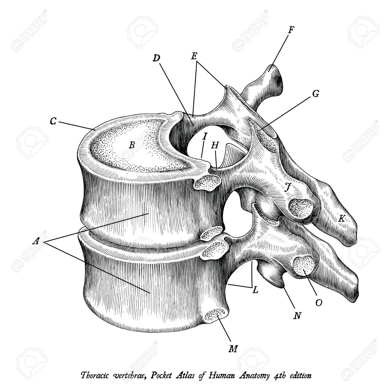Thoracic Vertebrae Anatomy Vintage Illustration Clip Art Isolated 1300x1300