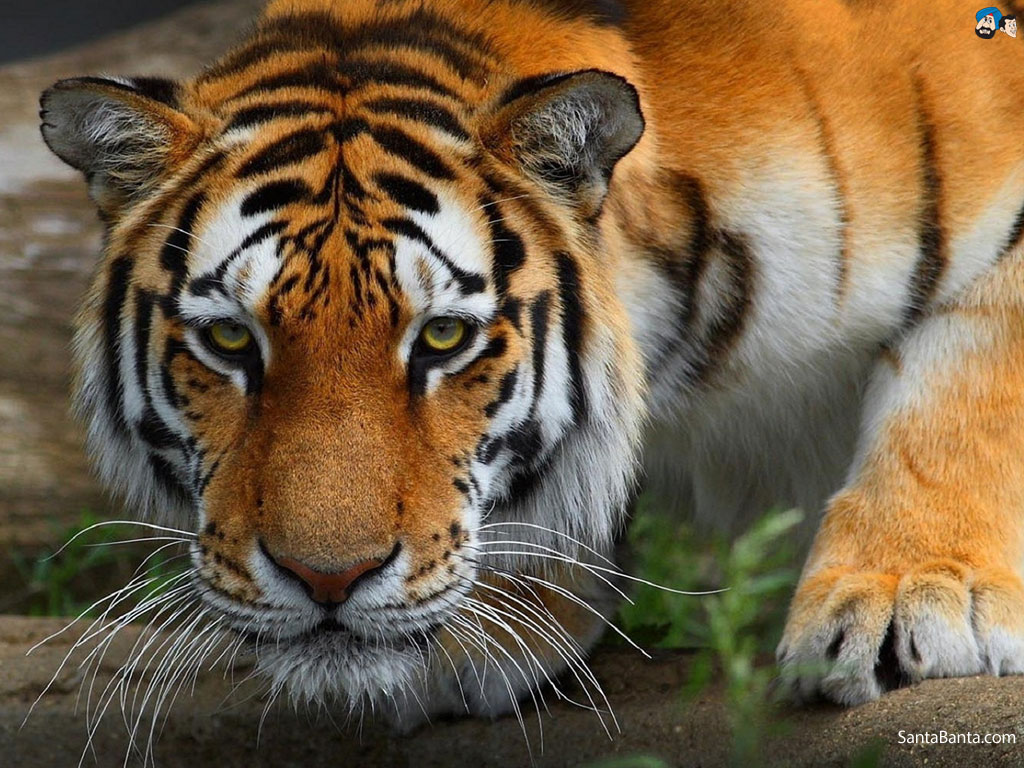 tigers pictures wallpaper wallpapersafari