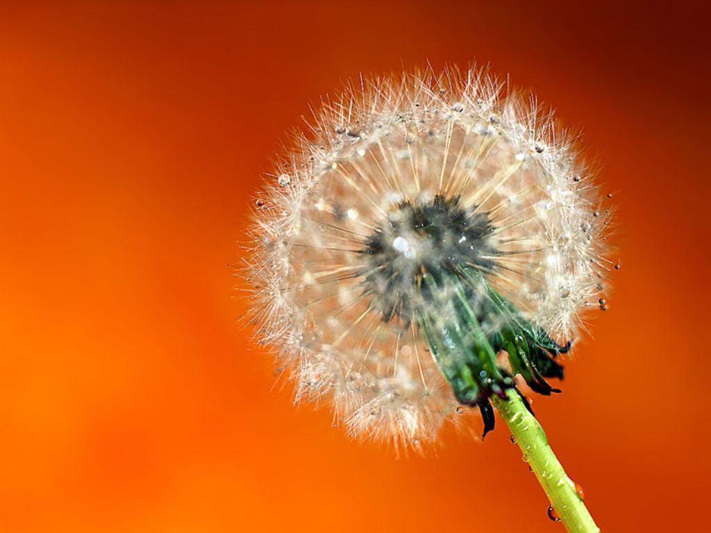 dandelion desktop wallpaper desktop flower picture desktop wallpaper 1024x768