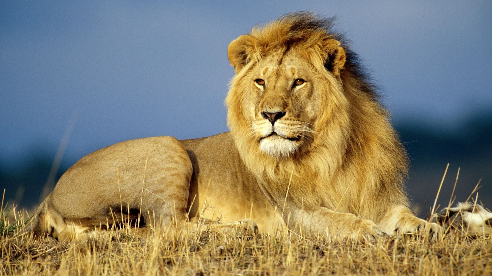 African Lion 1080p HD Wallpaper Iphone wallpapers Lion 1920x1080