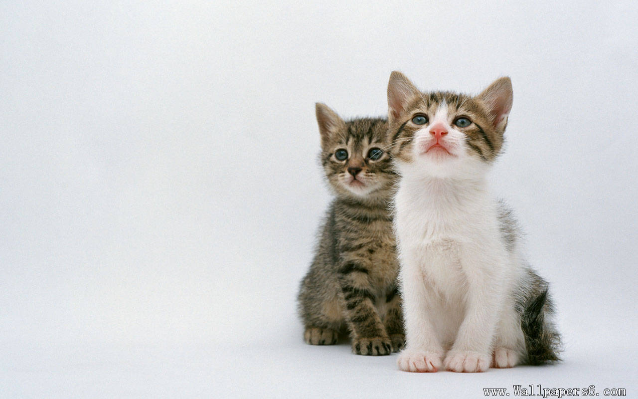 two absorbed cat Animal Wallpapers   download wallpapers 1280x800