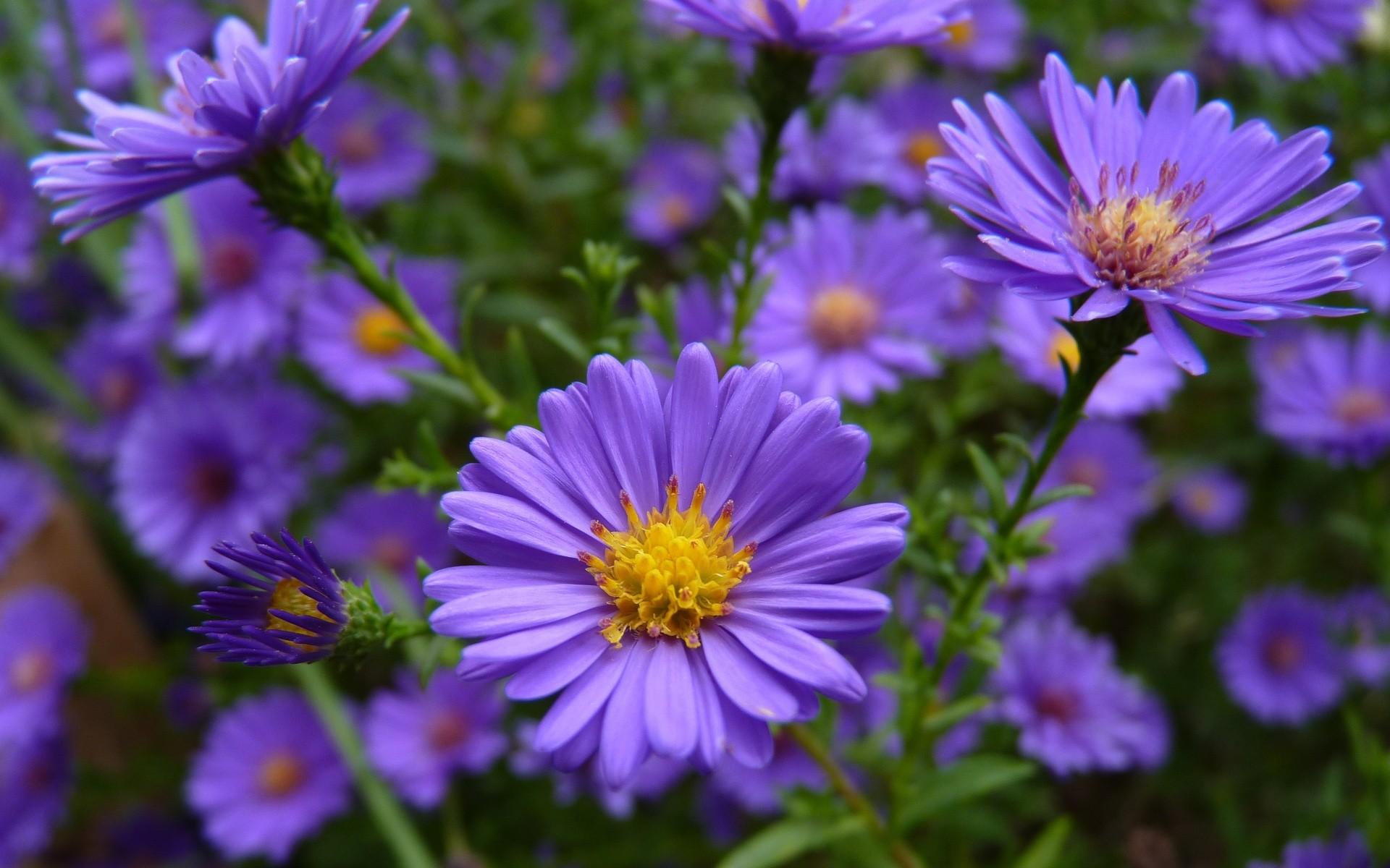 Flowers Purple Wallpaper 1920x1200 Flowers Purple 1920x1200