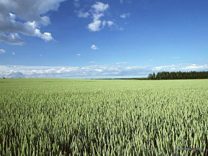 Cornfield Photos Country Farm Scene Wallpaper Cornfield pictures 700x525