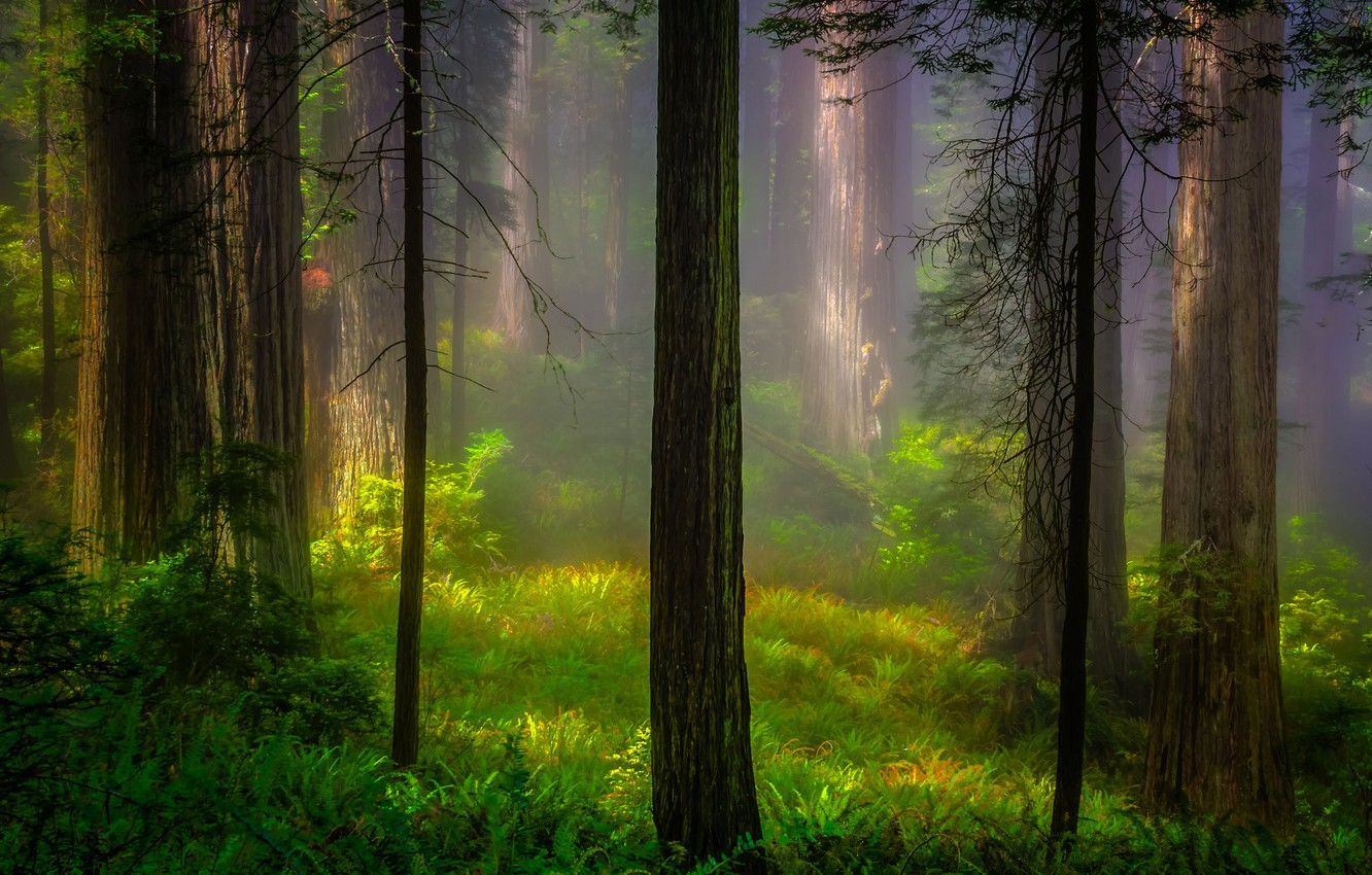Wallpaper forest light trees nature morning CA USA Redwood 1332x850