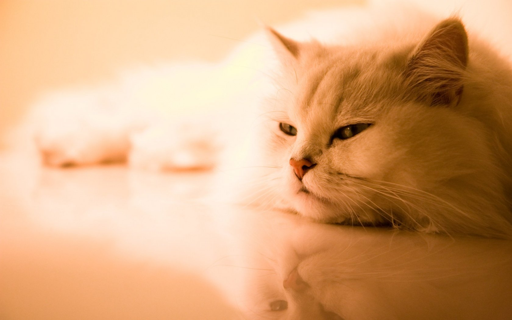 Cute Cat Wallpaper desktop wallpapers and stock photos 1680x1050