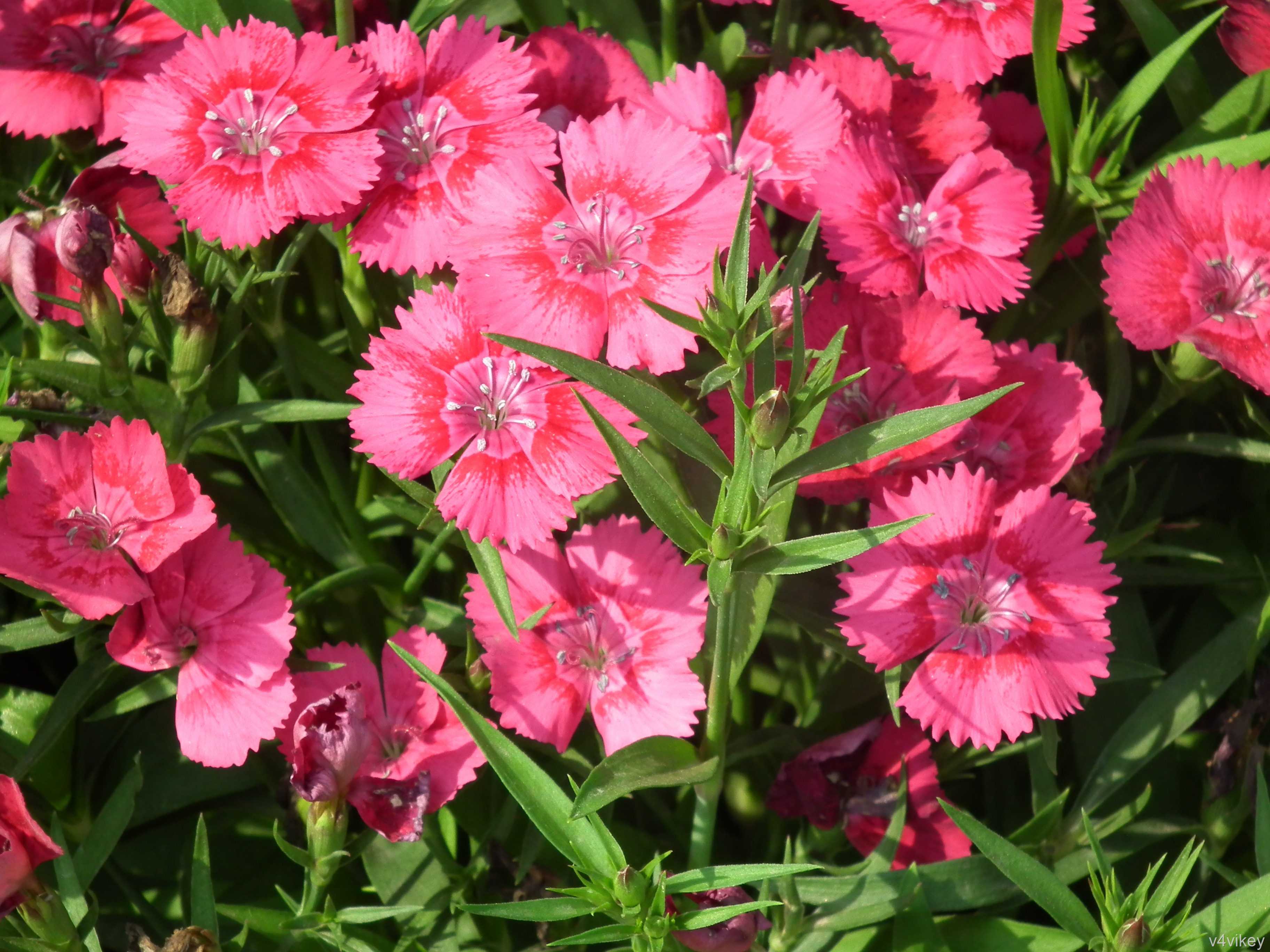 Beautiful Nature Carrot Color Dianthus Flower Pictures 3648x2736
