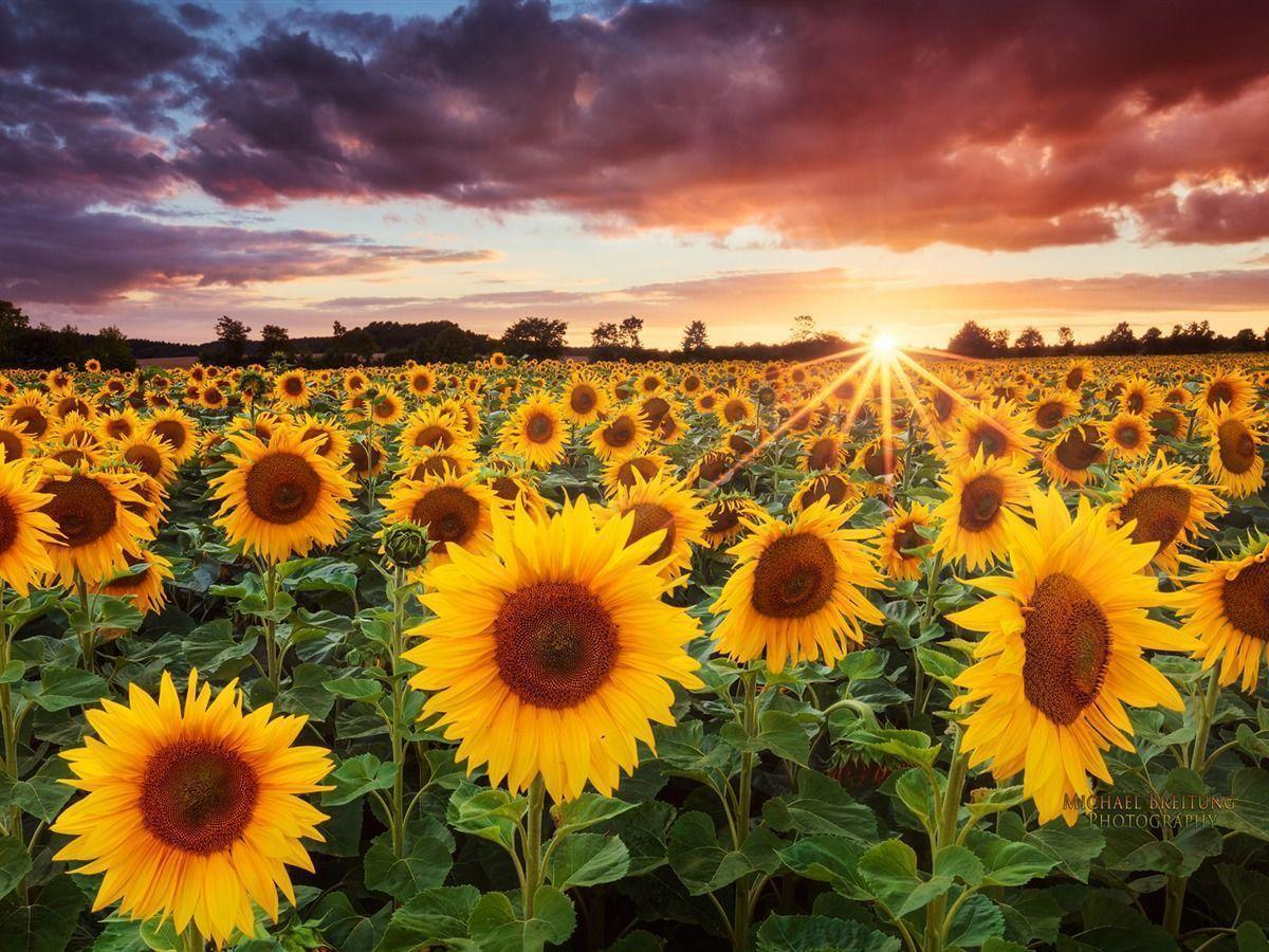 Field Of Sunflowers Wallpapers