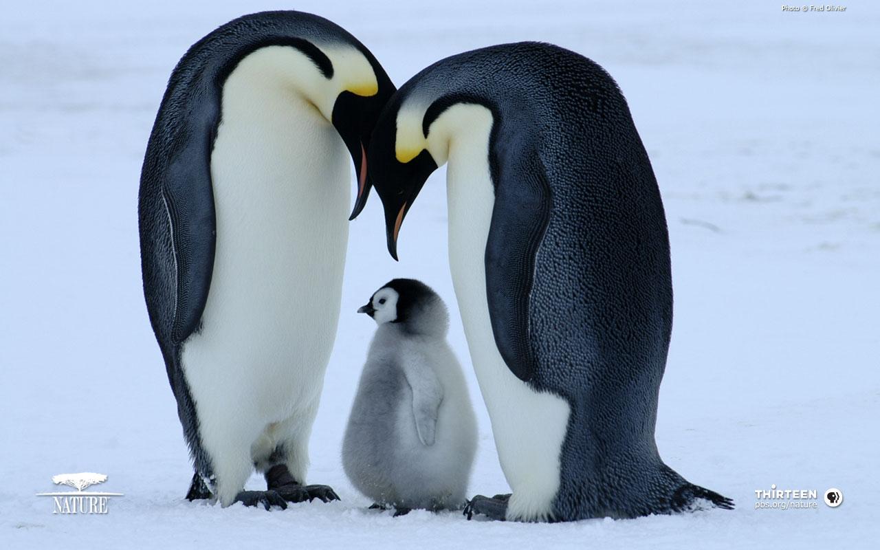 Penguins Wallpapers - WallpaperSafari