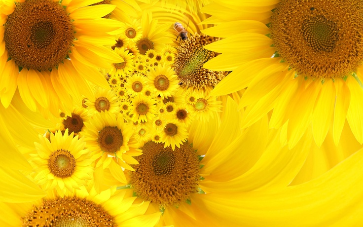 Yellow Flowers   Bing Images Yellow Flowers Pinterest 736x460