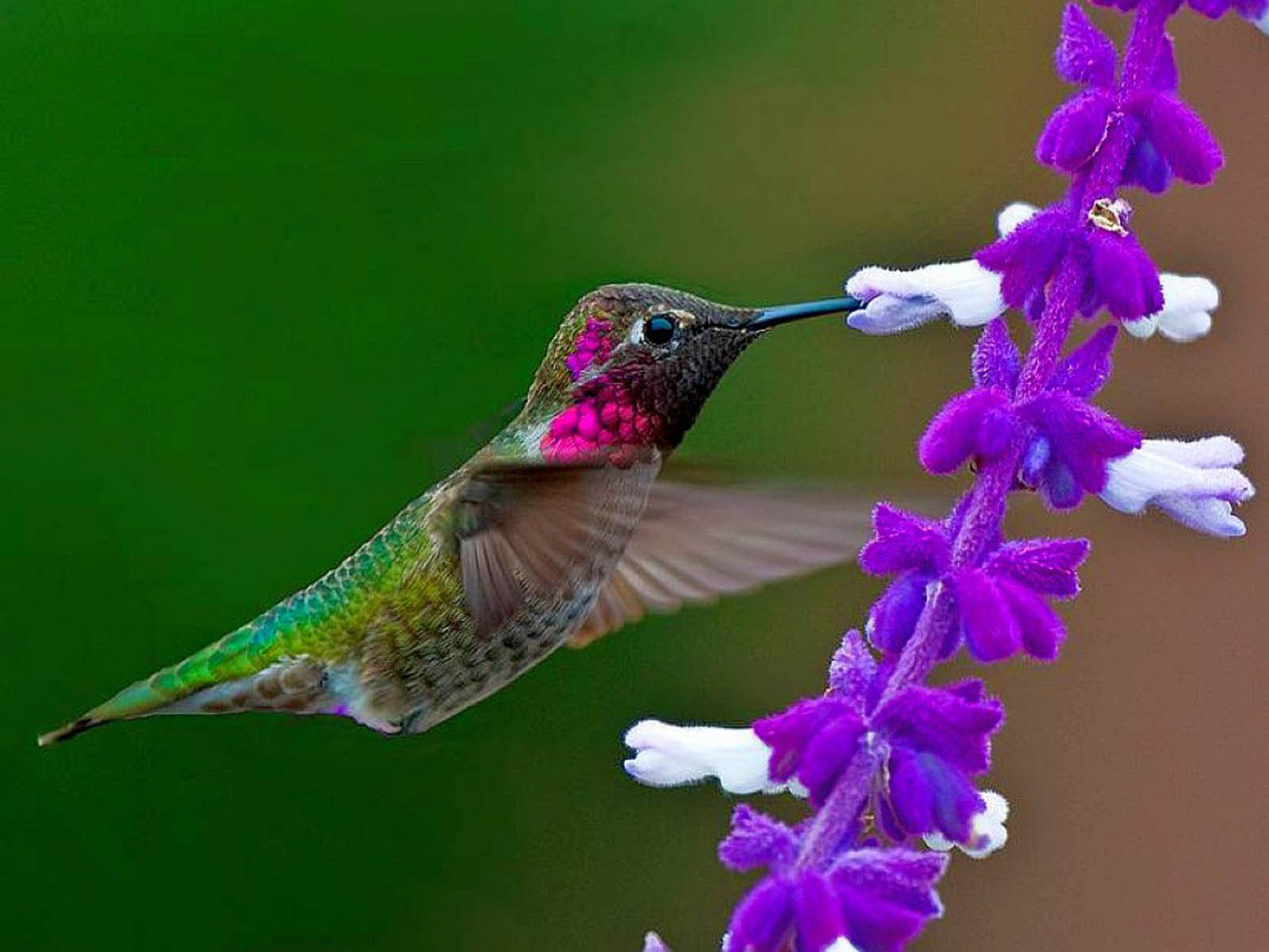bird desktop wallpapers humming bird backgrounds humming bird desktop 1600x1200
