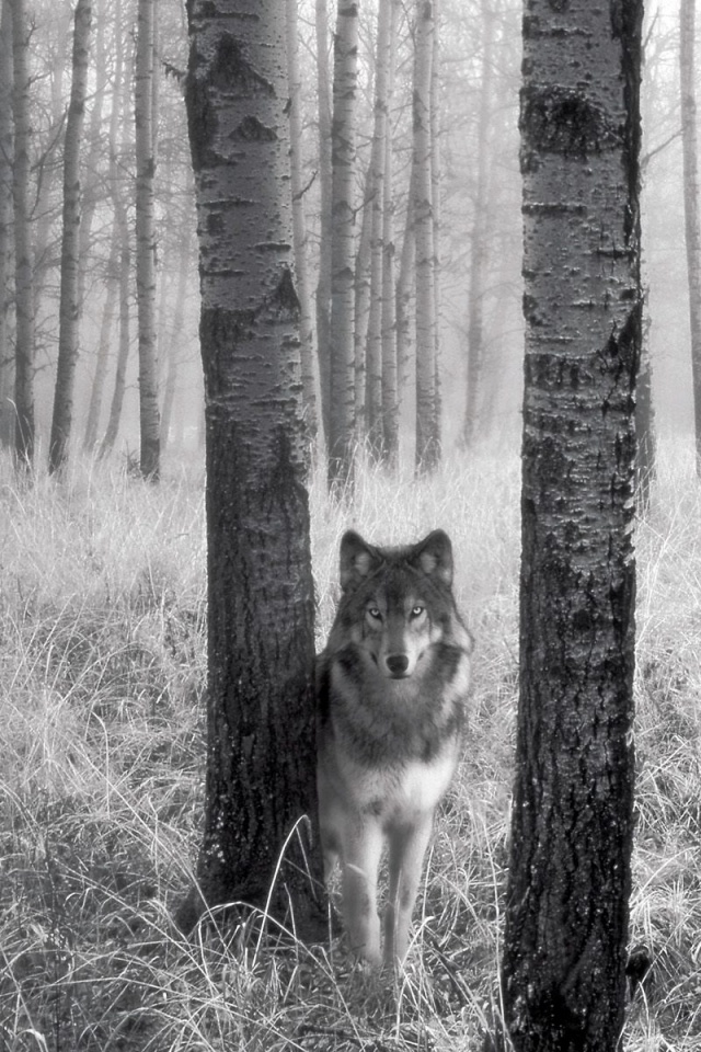 wolf iphone wallpaper wolf wallpaper for iphone wallpapersafari 8538