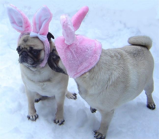 Pug Easter Bunny Kiss   Bunny Rabbits Photo 33876466 648x567