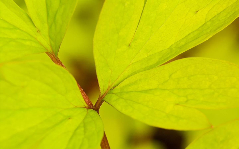 yellow green leaves wallpaper   1440x900 wallpaper download 1440x900