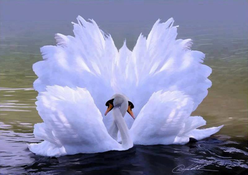 swan love   Beautiful Pictures Photo 34674027 800x566