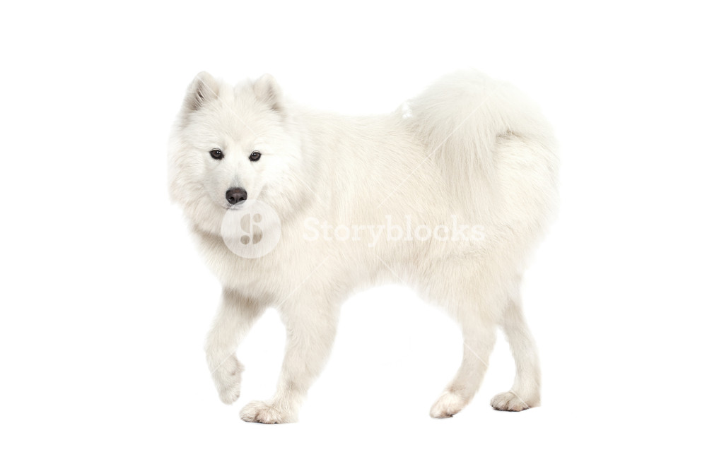 Samoyed dog in front of a white background Royalty  Stock 1000x657