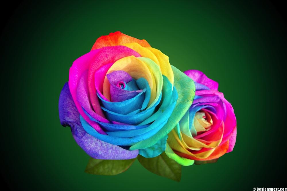 Rainbow Roses Wallpaper - WallpaperSafari