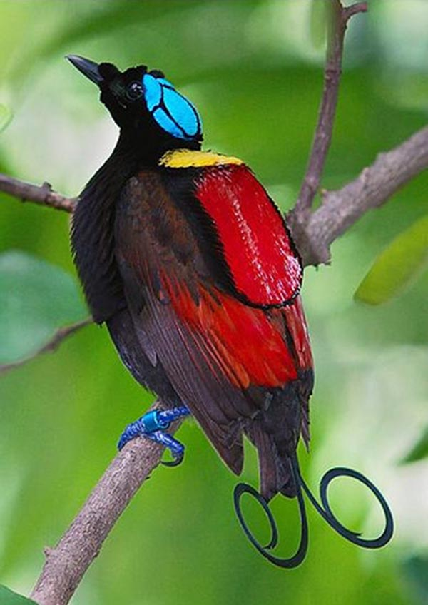 14 Most Beautiful Birds of the World   Winsons Bird of Paradise 600x848