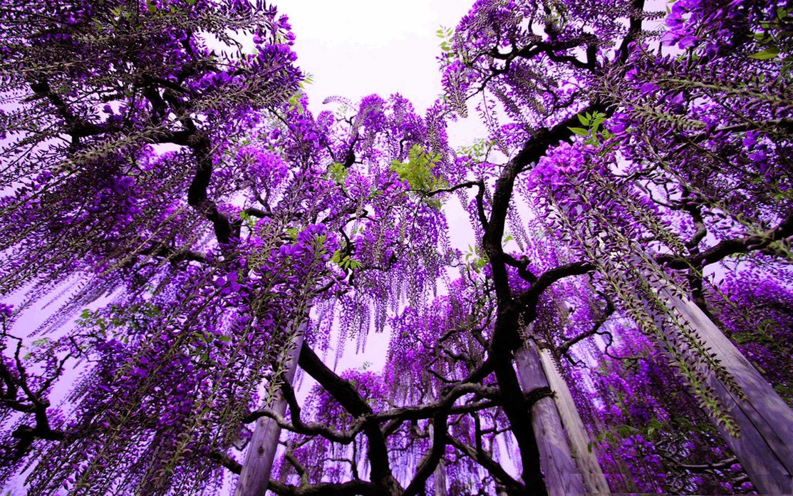 Purple Nature HD Wallpapers 1600x1000
