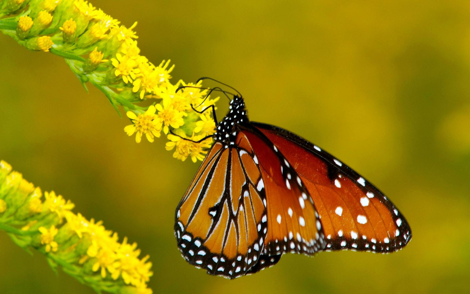 Monarch Butterflies On Flowers 1920x1200 6647 HD Wallpaper Res 1920x1200