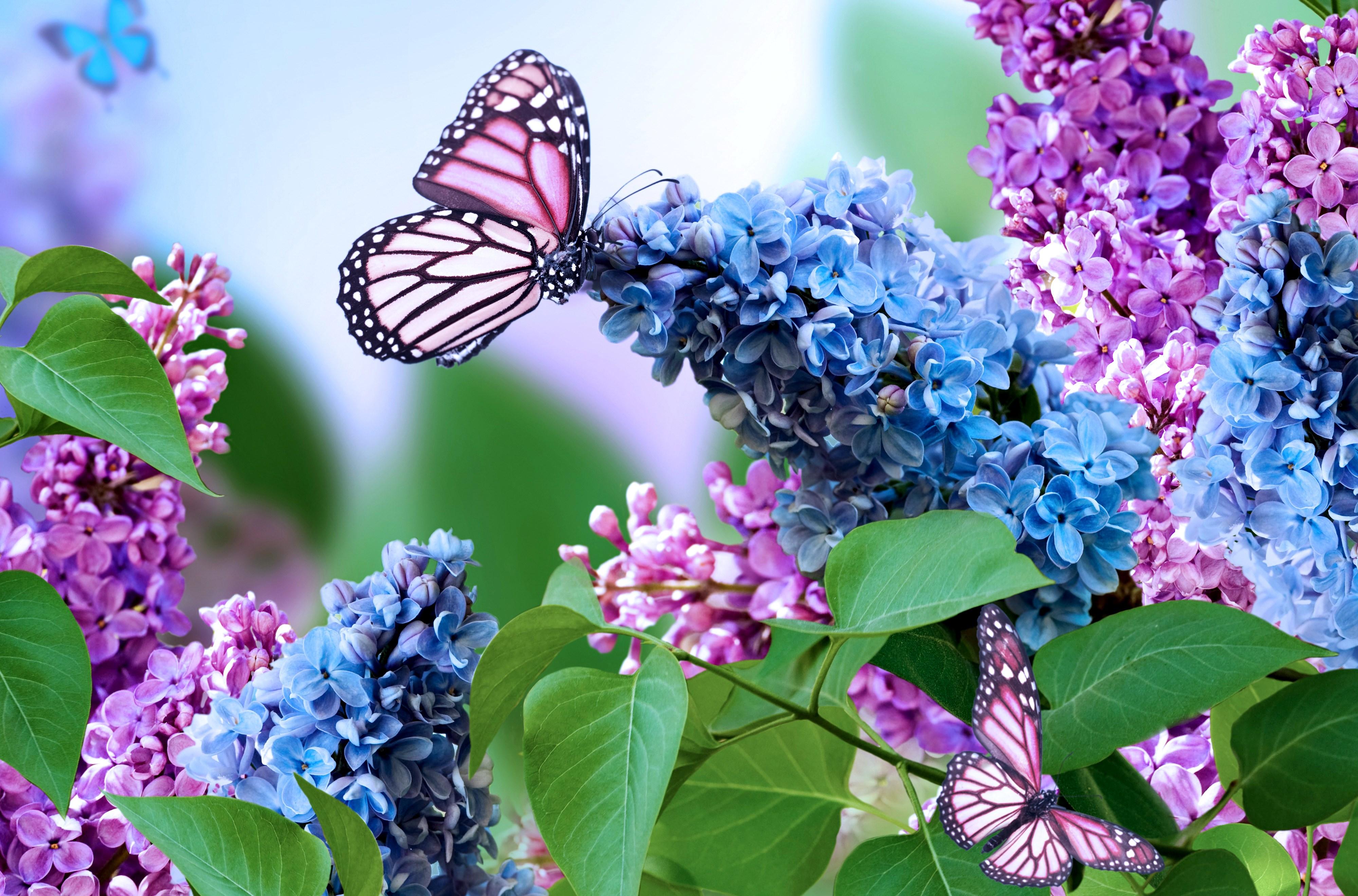 1711 purple butterfly desktop wallpaper Butterfly hd 4000x2639