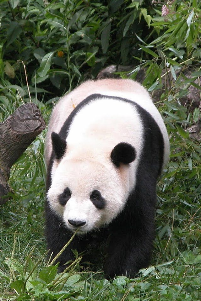 Panda iPhone Wallpaper ANIMALS Pinterest 640x960
