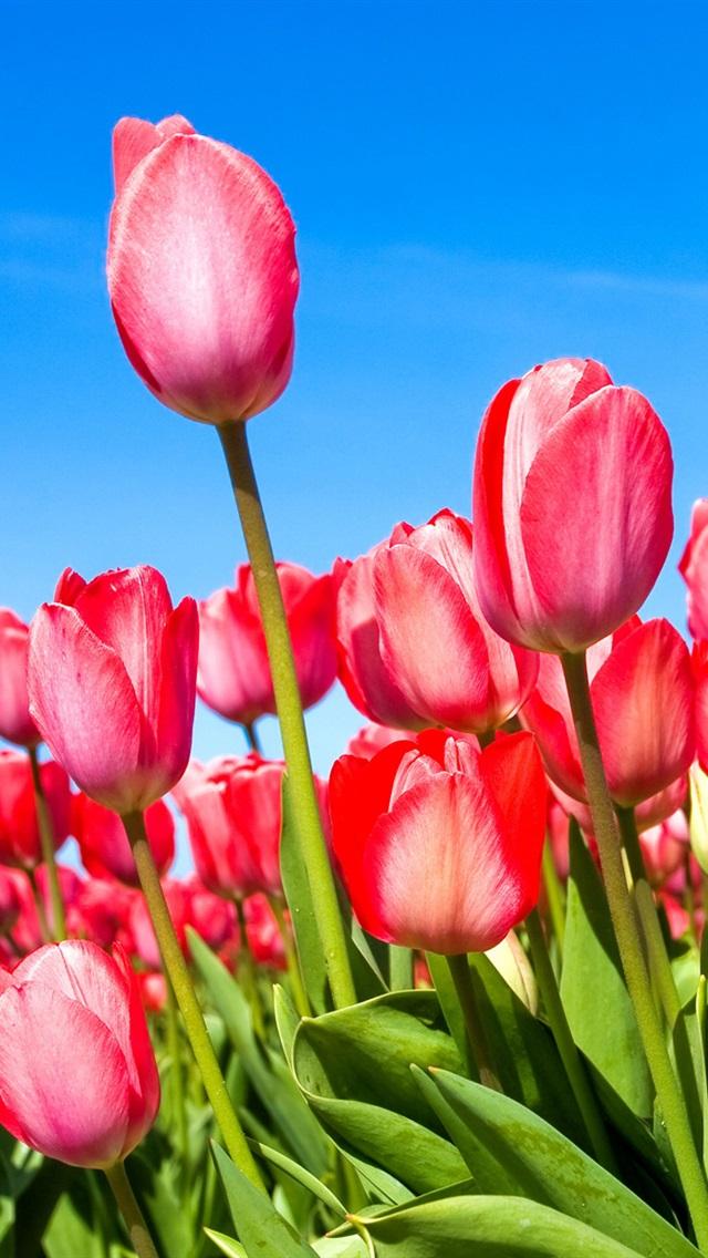 Pink Tulips Wallpaper Iphone Iphone 3gs 320x480 wallpaper 640x1136