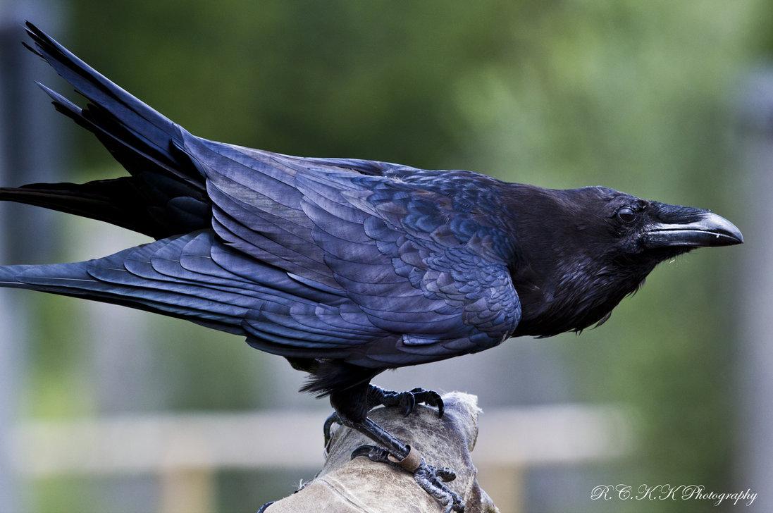 Pin Raven Bird 1097x728