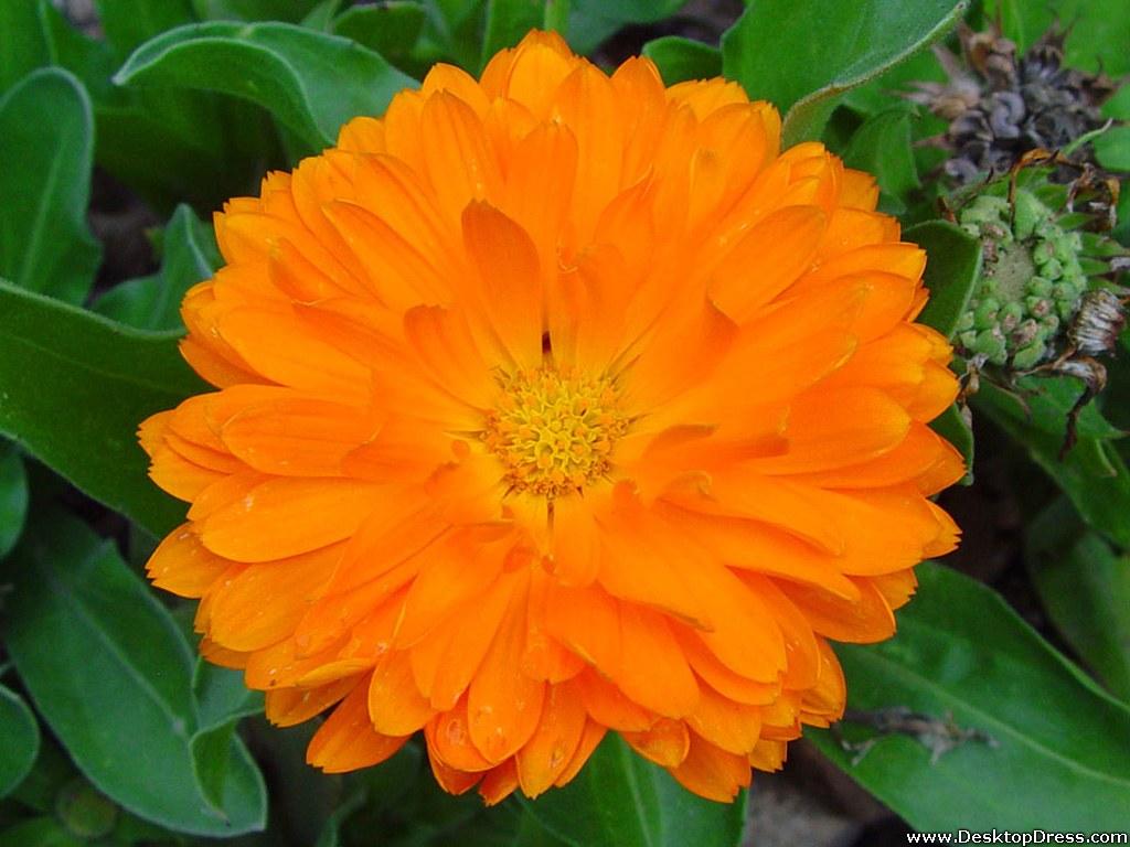 Wallpapers Flowers Gardens Backgrounds Orange Flower