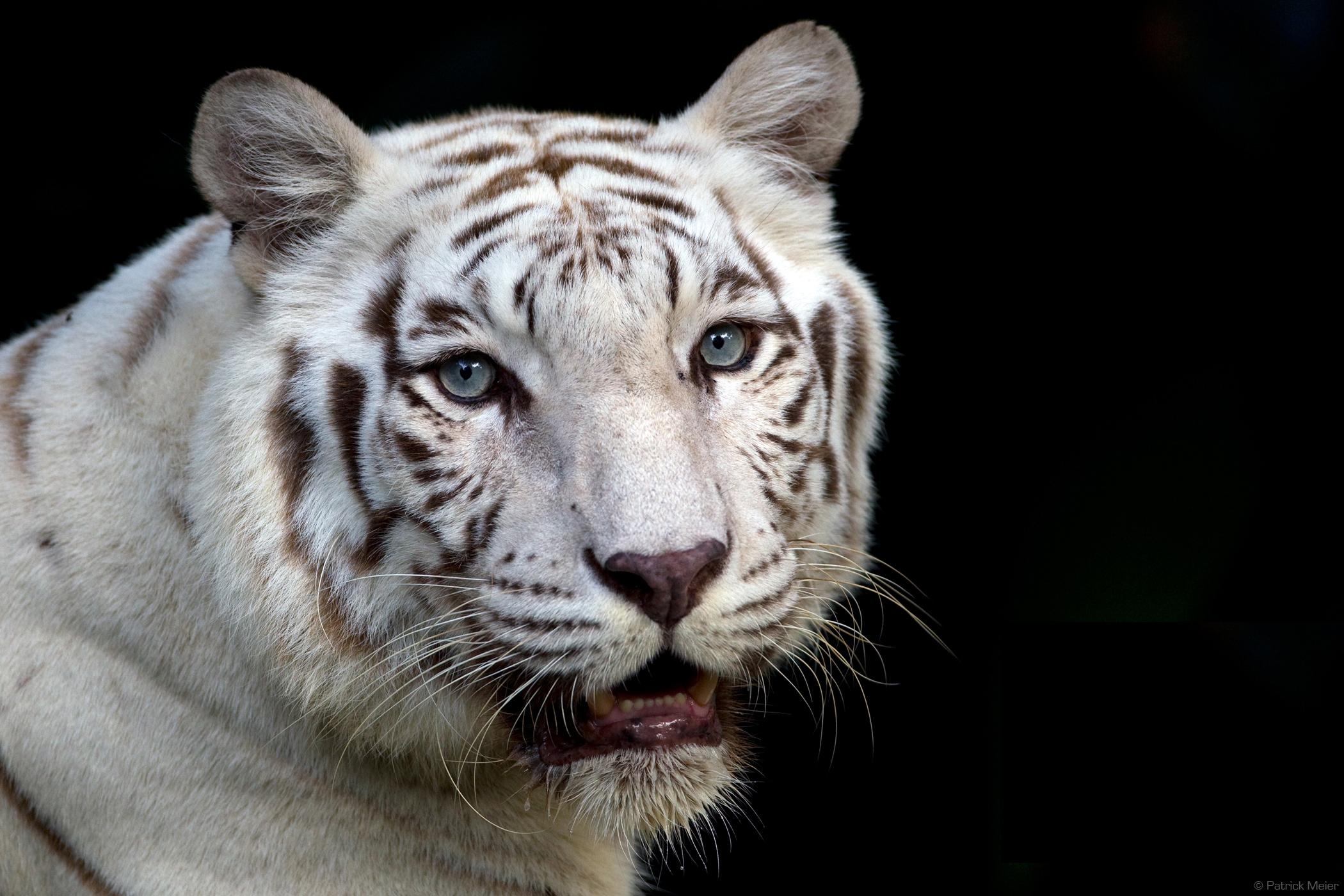 White bengal tiger Singapore Zoo 2100x1400