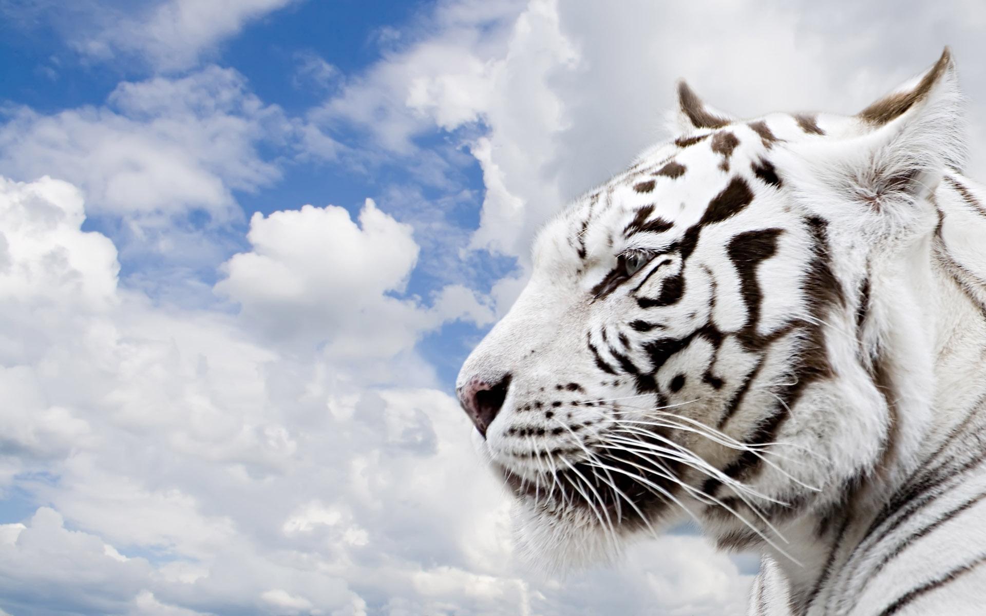 White tiger Desktop Wallpapers FREE on Latorocom 1920x1200